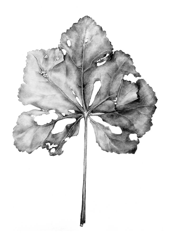 Malva maritima leaf drawing
