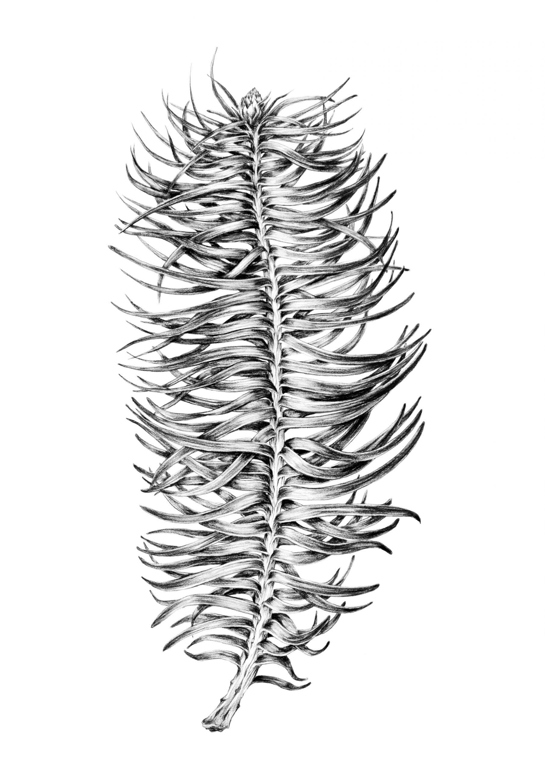 Cunninghamia lanceolata drawing