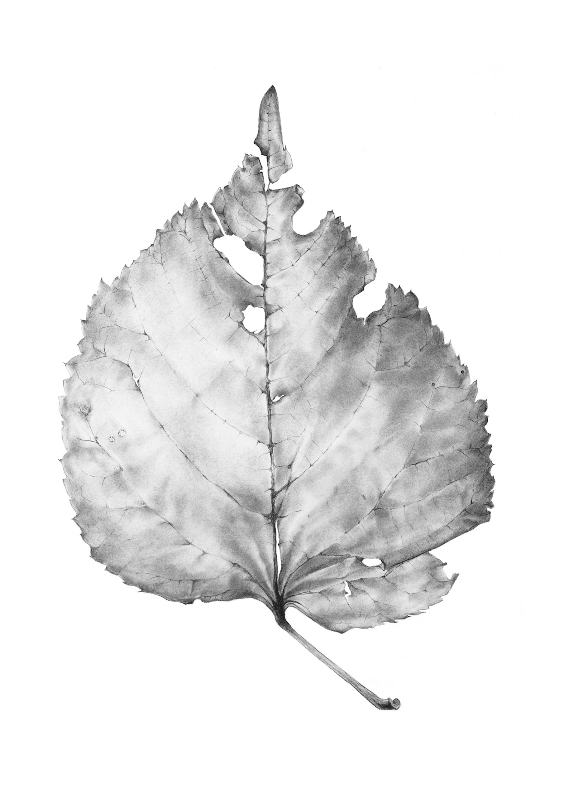 Tilia x europea leaf drawing